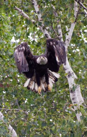 Eagle flying out of tree