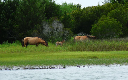 Wild Horse colt Carrot Island NC