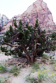 Bristle cone pine with spire in background