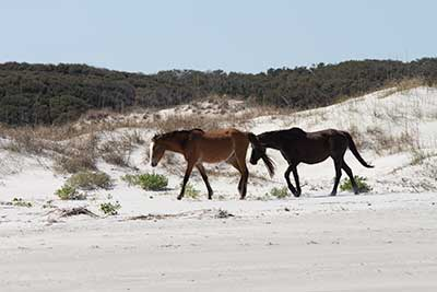 Horses on beach at Cumberland Island