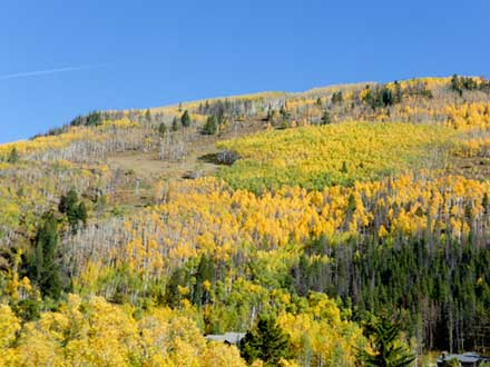 Aspens in full fall yellow