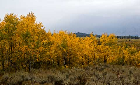Yellow leaves in Grand Tetons