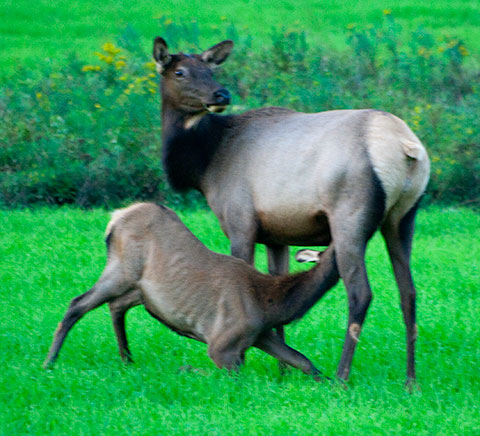 Calf elk nursing