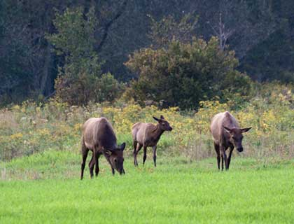 Three elk coming into the meadow