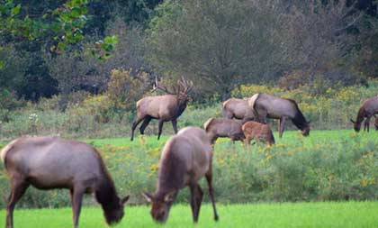 Bull elk with cows and calves in foreground