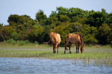 Two wild horses Carrot Island, NC