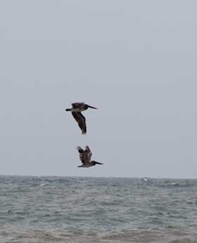 Pelicans flying