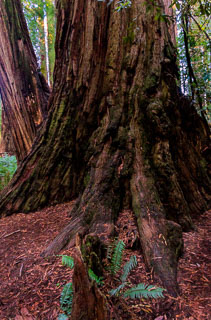 Tree in Redwoods National Park