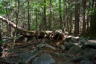 Forest along Roaring Fork Loop