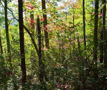 Forest with leaves just turning red on way to Laurel Falls