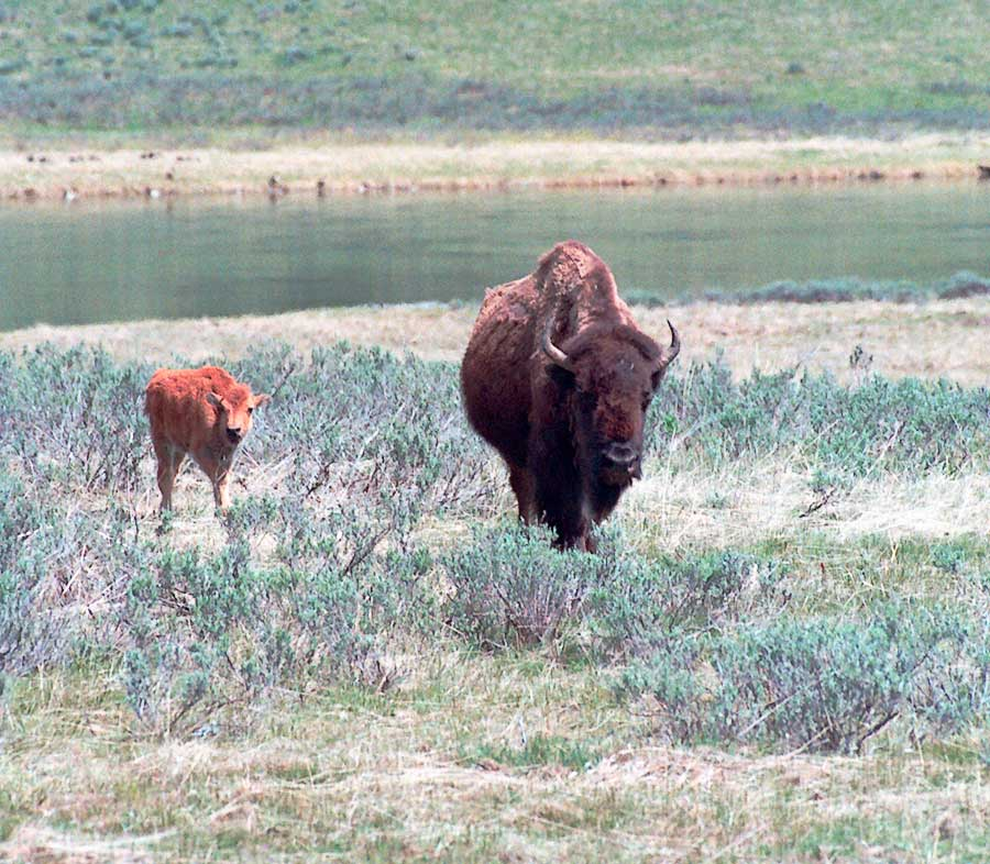 Adult and calf Buffalo
