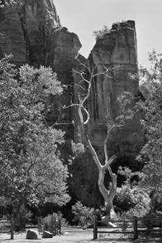 Black and White Photo of Zion Cliffs and twisted tree